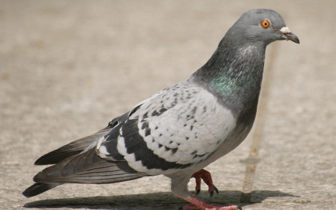 Pigeon Pose – Eka Pada Rajakapotasana