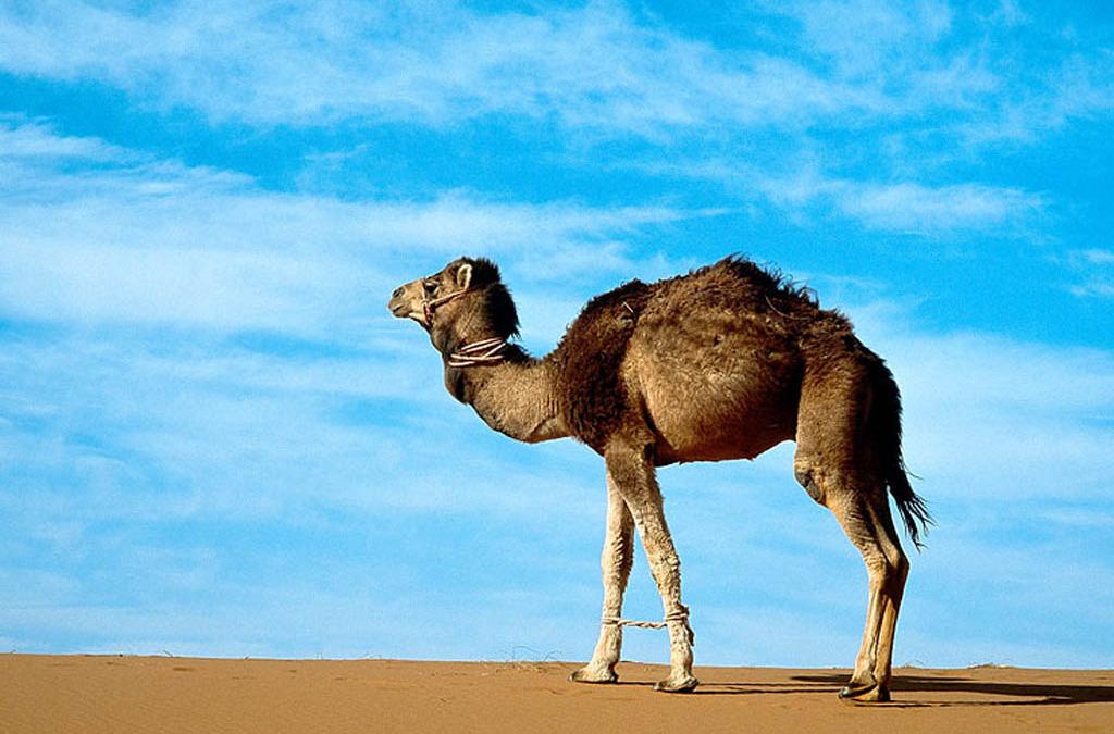 Kids Yoga Poses – Camel Pose – Ustrasana